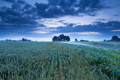Weizenfeld und -blumen in der Dämmerung Lizenzfreies Stockbild