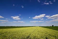 Weizenfeld und Landschaftslandschaft Weizenfeld und -wolken Grünes Weizenfeld am sonnigen Tag, blauer Himmel Stockbilder