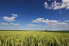 Weizenfeld und Landschaftslandschaft Weizenfeld und -wolken Grünes Weizenfeld am sonnigen Tag, blauer Himmel Lizenzfreie Stockbilder