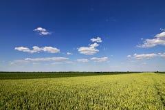 Weizenfeld und Landschaftslandschaft Weizenfeld und -wolken Grünes Weizenfeld am sonnigen Tag, blauer Himmel Lizenzfreies Stockbild