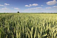 Weizenfeld und Landschaftslandschaft Weizenfeld und -wolken Grünes Weizenfeld am sonnigen Tag, blauer Himmel Lizenzfreies Stockfoto