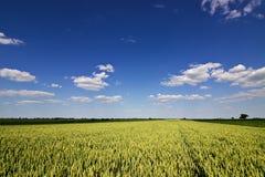 Weizenfeld und Landschaftslandschaft Weizenfeld und -wolken Grünes Weizenfeld am sonnigen Tag, blauer Himmel Stockfotografie