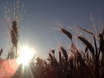 Weizenfeld und Sonnenaufgang Lizenzfreie Stockfotografie