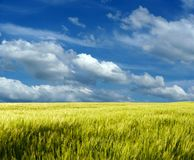 Weizenfeld unter blauem Himmel Stockfotografie