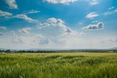 Weizenfeld unter dem blauen Himmel Stockfotografie