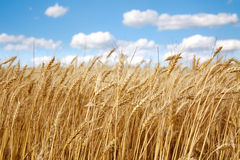 Weizenfeld unter dem Weiß bewölkt sich auf blauem Himmel Lizenzfreie Stockfotografie