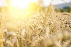 Weizenfeld unter der Sonne, Landwirtschaft, natürlicher Hintergrund, Körner, Brot lizenzfreie stockfotografie