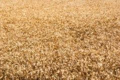 Weizenfeld während des Sommers Lizenzfreie Stockbilder