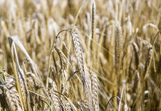 Weizenfeldabschluß Stockfoto