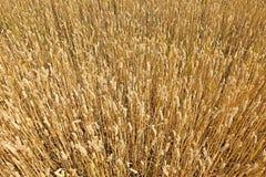 Weizenfelddetail Stockfotos
