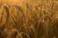 Weizenfelder Lizenzfreie Stockfotografie