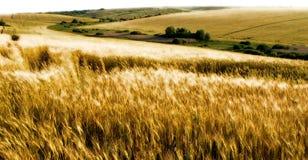 Weizenfelder Stockbild