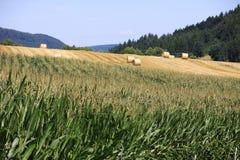 Weizenfelder in den Bergen von Deutschland, Hettigenbeuern Stockbild