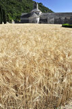Weizenfelder an der Abtei von Senanque, Frankreich Stockbilder