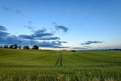 Weizenfelder im Sommer mit jungen Ernten Stockfoto