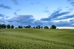 Weizenfelder im Sommer mit jungen Ernten Stockfotografie