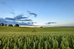 Weizenfelder im Sommer mit jungen Ernten Stockfotos