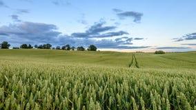 Weizenfelder im Sommer mit jungen Ernten Lizenzfreie Stockbilder