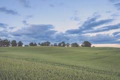 Weizenfelder im Sommer mit jungen Ernten - Weinleseblick Stockfotografie