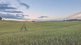 Weizenfelder im Sommer mit jungen Ernten - Weinleseblick Lizenzfreie Stockfotos