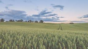Weizenfelder im Sommer mit jungen Ernten - Weinleseblick Stockfotos