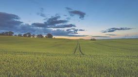 Weizenfelder im Sommer mit jungen Ernten - Weinleseblick Stockfoto