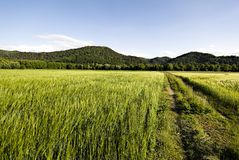 Weizenfelder in Slowenien Stockfotografie