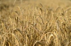 Weizenfelder Weizenspitze auf einem Gebiet Lizenzfreie Stockfotos