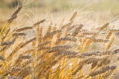 Weizenfeldernte, völlig reife Kornähren an einem sonnigen Sommertag, Erntezeit, Nahaufnahme sonnenbeschien, Beschaffenheitsoberfl stockbild