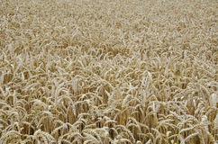 Weizenfeldhintergrund Stockfotografie