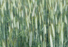 Weizenfeldhintergrund Stockfoto