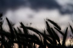 Weizenfeldschattenbild lizenzfreie stockfotografie