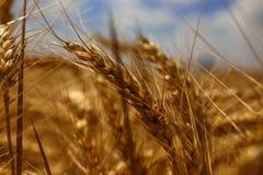 Weizengarn mit dem Reichtum der Erde lizenzfreie stockfotos