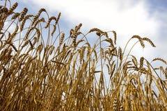 Weizengetreide mit bewölktem Himmel Lizenzfreie Stockfotografie