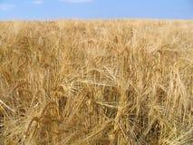 Weizengold stockfoto