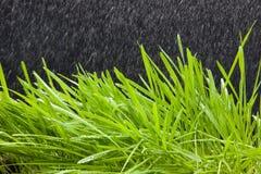 Weizengras Stockfoto