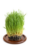 Weizengras Stockbilder