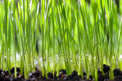 Weizengras Stockbild