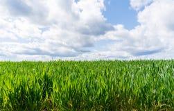 Weizengras, das auf einem großen Gebiet unter einem sonnigen Esprit des blauen Himmels wächst Stockbilder