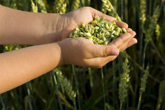 Weizenkörner   Lizenzfreie Stockbilder