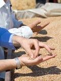 Weizenkörner in der menschlichen Palme Stockbild