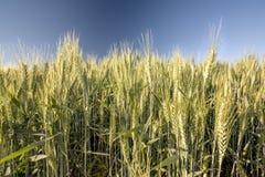 Weizenkörner noch auf dem Stiel stockbild