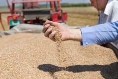 Weizenkorn, das von der menschlichen Hand fällt Stockbilder