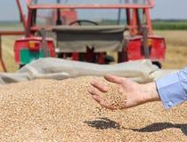 Weizenkorn, das von der menschlichen Hand fällt Lizenzfreie Stockbilder