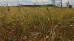 Weizenkornerntefeld an einem sonnigen Tag stock video footage