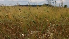 Weizenkornerntefeld an einem sonnigen Tag stock footage