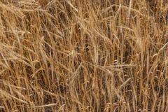 Weizenkornerntefeld an einem sonnigen Tag Stockbild