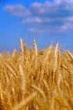 Weizenkornfeld lizenzfreie stockfotos