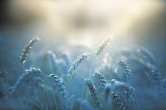 Weizennahaufnahme lizenzfreie stockfotos