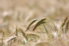 Weizennahaufnahme Stockbild